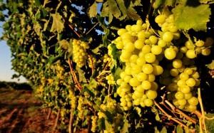 viñedos uvas blancas